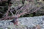 Karearea, New Zealand Falcon (Falco novaeseelandiae)